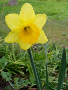 Happy daffodil growing in the Editor's garden!