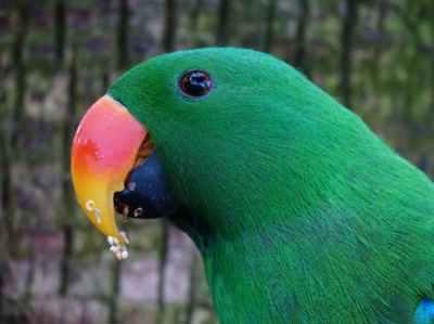 male eclectus parrot. image courtesy pexels.com