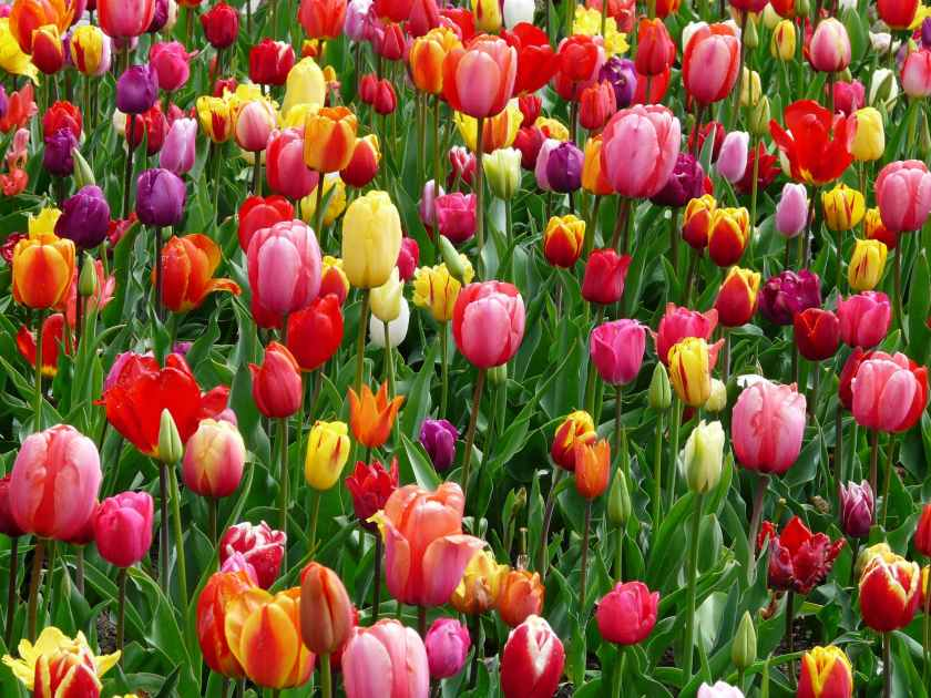 A garden bed of multicoloured tulips.